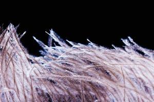 Panache de plumes d'autruche isolé sur fond noir photo