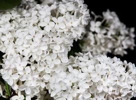 lilas blanc sur fond noir