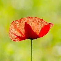 fleur de pavot, une seule fleur, rouge, champ