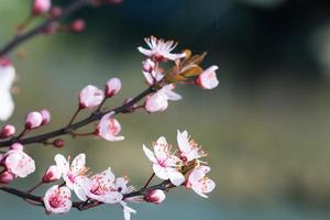 fleurir au printemps photo