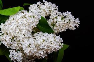 lilas blanc sur fond noir photo