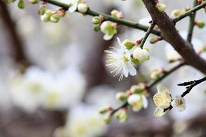 Fleurs de cerisier, ferme de Wuling, Taiwan photo