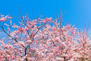 fleurs de sakura en fleurs. belle fleur de cerisier rose photo