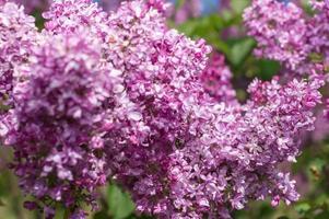 mise au point sélective lilas