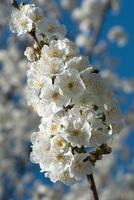 fleurs de cerisier photo