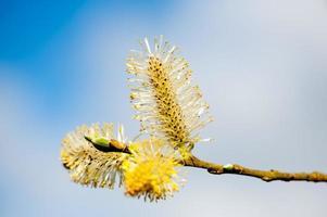 branches de saule chatte ensoleillée photo