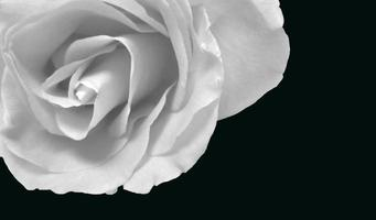 rose blanche photo