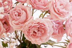 fond de roses de thé rose tendre
