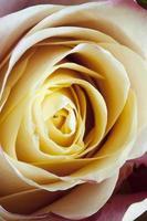macro fleur rose