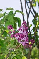 mise au point sélective lilas photo