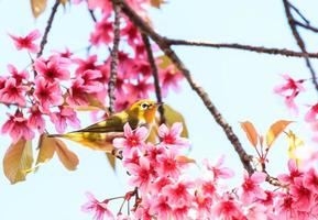 Oiseau aux yeux blancs sur brindille de fleur de cerisier rose (sakura) photo