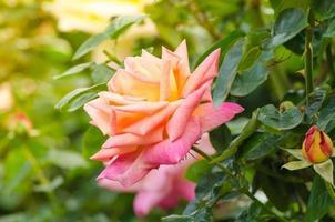 belle rose rose dans un jardin photo