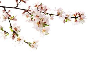 fleur de cerisier rose photo