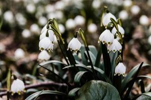 fleur de leucojum flocon de neige photo