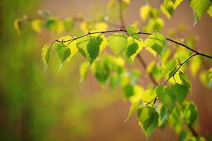 printemps. la jeune branche de bouleau. photo