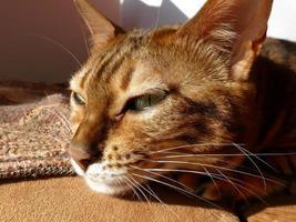 Tête de chat du Bengale baignant dans la lumière du soleil photo