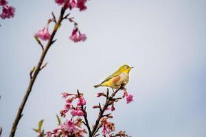 oiseau à œil blanc sur fleur de cerisier et sakura