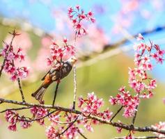 bulbul à tête blanche et sakura