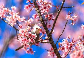 Oiseau bulbul à tête blanche sur un rameau de sakura