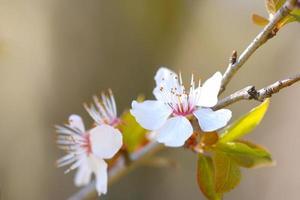fleurs de cerisier en cire en fleur photo