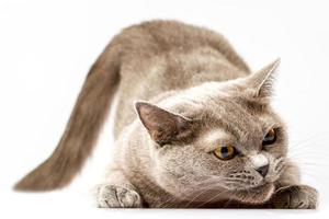 chat britannique sur fond blanc