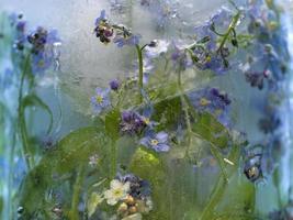 Fond de fleur de myosotis gelé dans la glace photo