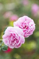 fleurs roses dans le jardin. photo