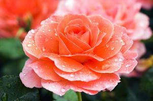 rose 'docteur jo' photo