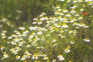 champ de fleurs de camomille photo