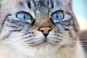 vue rapprochée du chat gris