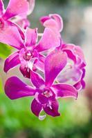 belle fleur d'orchidée rose photo