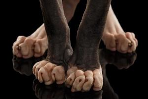 Gros plan jambes chat sphynx debout sur fond noir photo