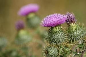 fleurs de chardon-Marie photo
