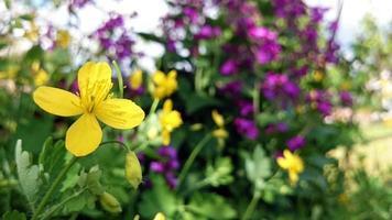 fleur de chelidonium majus photo