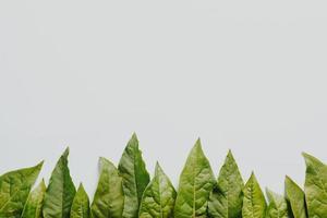 feuilles vertes sur fond blanc photo