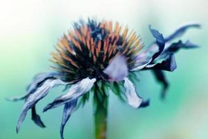 fleur d'échinacée sèche, peinture à l'huile effet artistique