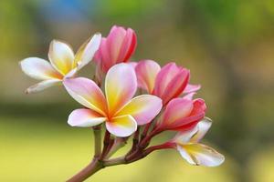 Branche de frangipanier fleurs tropicales (plumeria)