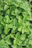 plante de menthe fraîche