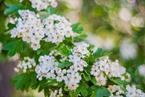 aubépine en fleurs photo