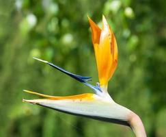 fleur de strelitzia reginae photo
