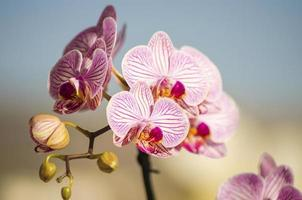 orchidée rose, phalaenopsis photo