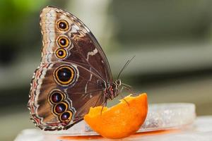 papillon morphus bleu photo