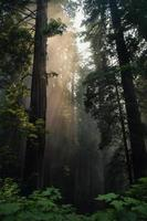 séquoias pendant la journée