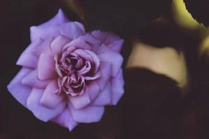 fleur violette sur surface noire