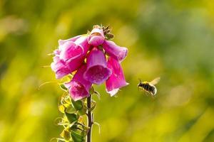 digitale ou miellat avec abeille
