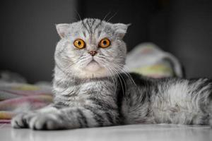 chat scottish fold au garde-à-vous photo