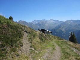 vaches dans les montagnes photo
