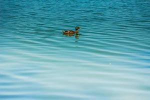 canard sur un étang photo