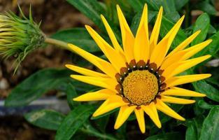 fleur de gazania jaune photo