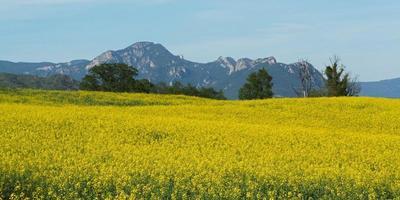 champ jaune en été photo